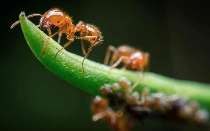 a colony of fire ants crawlong up and around a vibrant green blade of grass on a yakima property