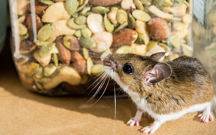 a house mouse scavenging through a food pantry in a grandview washington state home