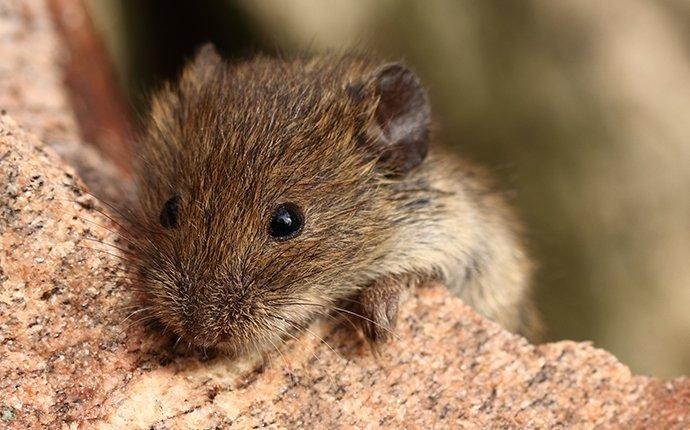 a house mouse in a yamika yard