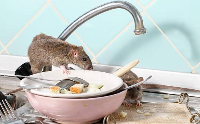 rodent on kitchen counter in central washington