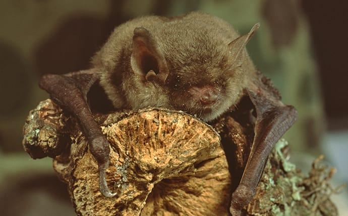 a little brown bat clinging on a tree branch in an ellensburge property