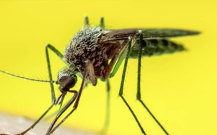 a long legged brown mosquito biting the arm of an ellensburg washinton state resident