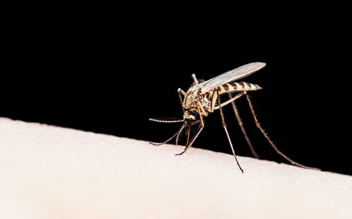 a grey tites mosquito biting the bare skin of a Kittitas resident as they rest n their back yard one summer night