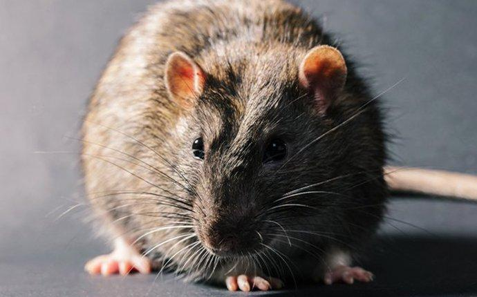 up close image of a norway rat inside a home