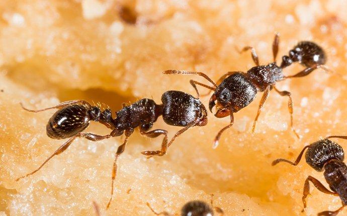 pavement ants crawling on food