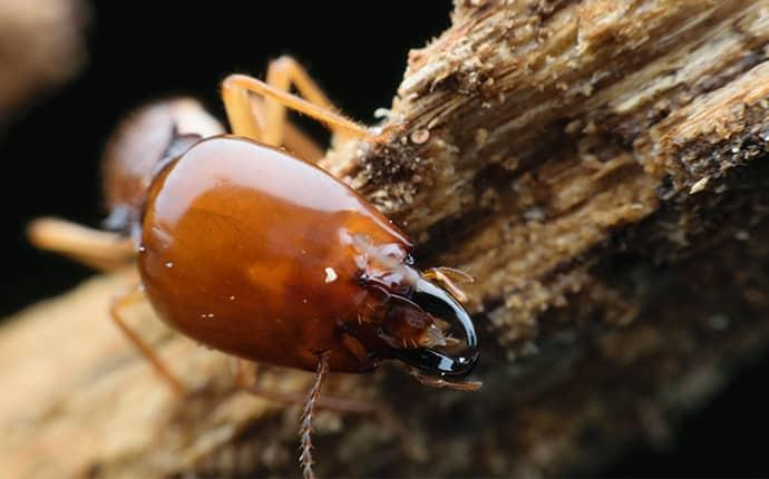 the large head of an adult termite chewing its way through and around a wooden structure on a washington state property