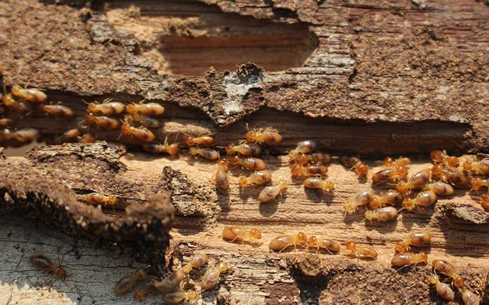 a large colont of termites swarming through a wooden structure along a yakima country property