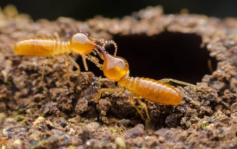 a colony of young termites figting with eachother over who will borrow through a wooden structure on a kittitas property