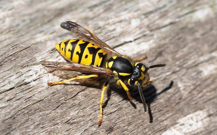 a yellow jacket crawling on a wooden picnic table