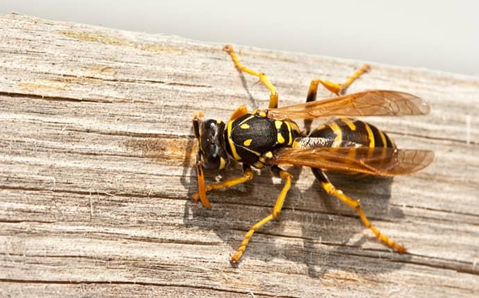 a yellow jacket on a wooden structure along a kittitas washington  property on a sunny day in late summer