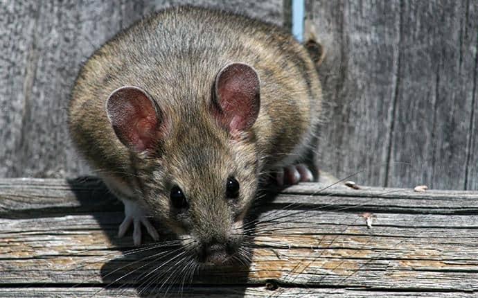 wood rat in yakima count wa