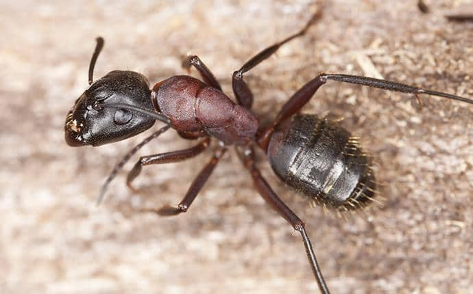 a carpenter ant in terrace heights washington