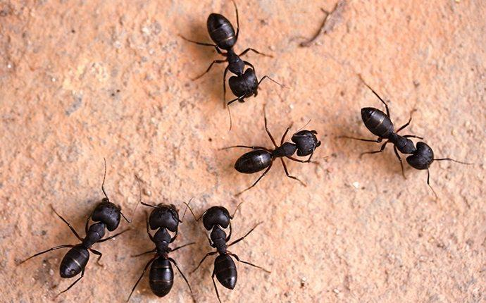 carpenter ants in cowiche washington home