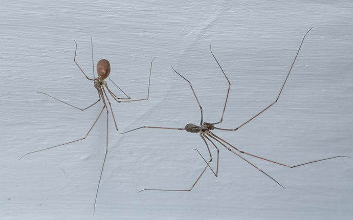 two adult cellar spiders