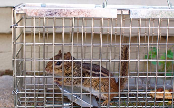 chipmunk in trap in yakima county wa