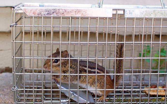 chipmunk in trap in yakima county wa