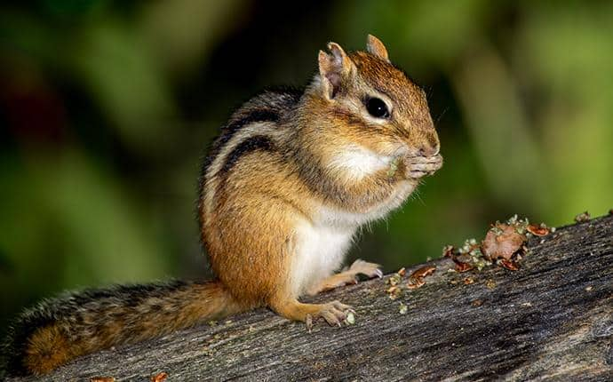chipmunk in yakima wa
