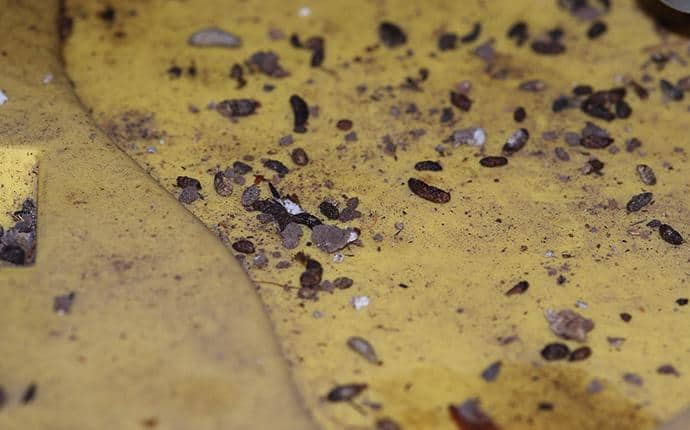 mouse droppings in central washington home