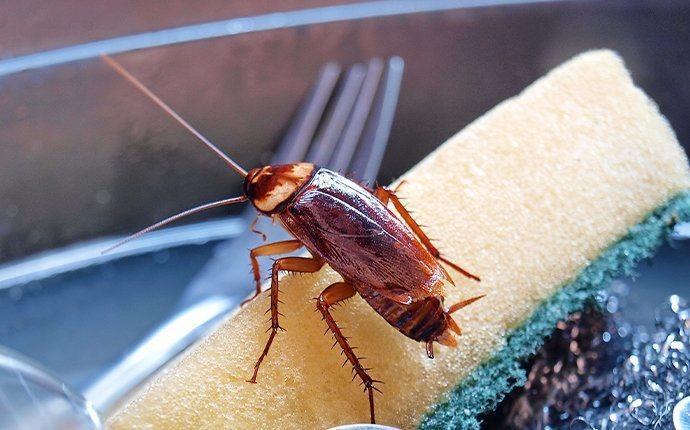 cockroach crawling on sponge in sink