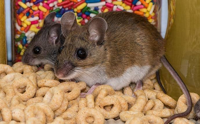 deer mice in ellensburg wa home