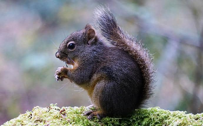 douglas squirrel in ellensburg wa