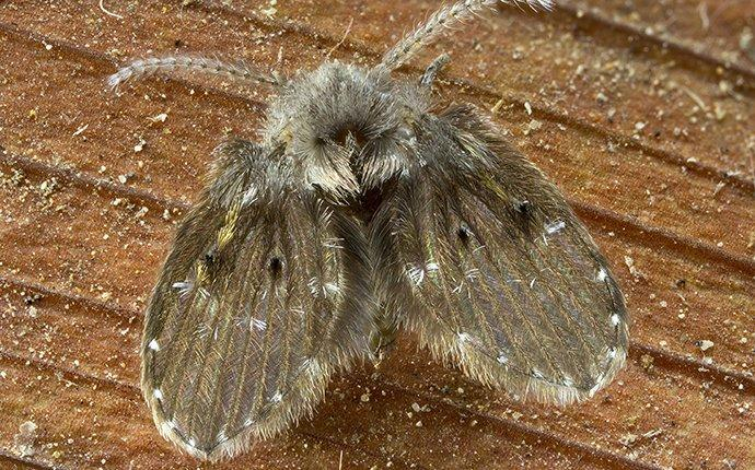 drain fly in home