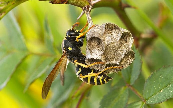 european paper wasp building nest in central wa