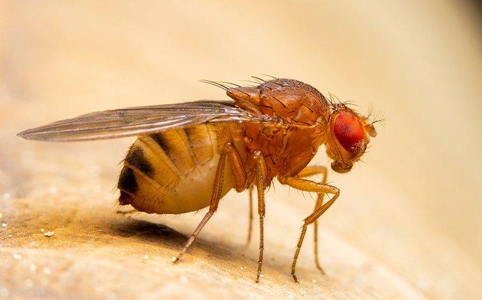 fruit fly on fruit