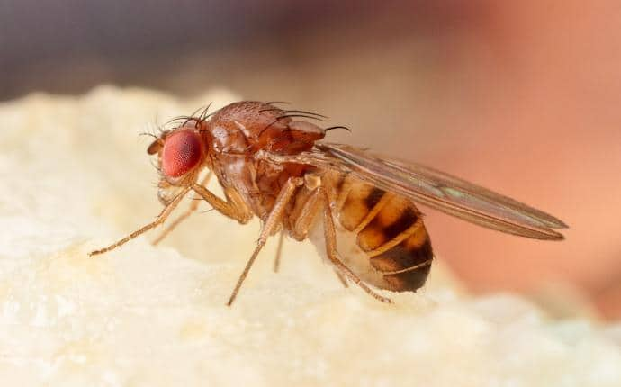 fruit fly in yakima wa