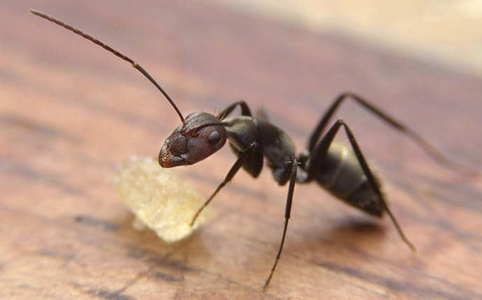 black ant gathering food from a washington home
