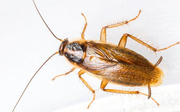 german cockroach on white surface