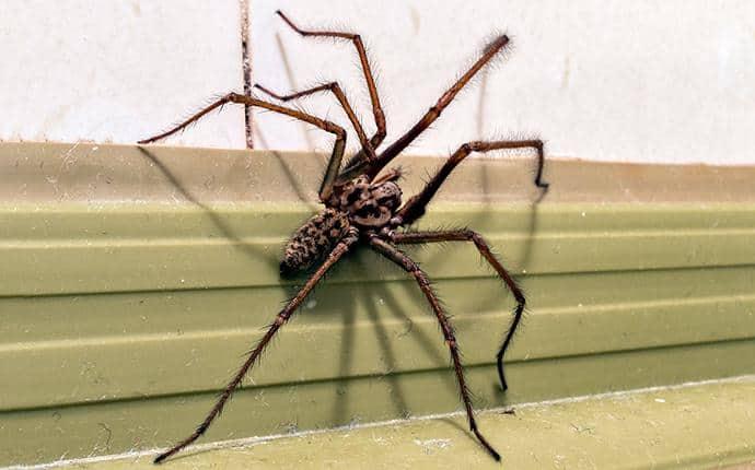 giant house spider in ellensburg wa