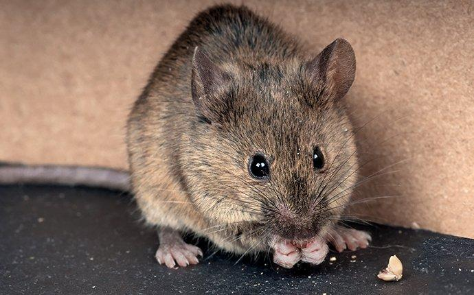 house mouse eating food in a granger washington pantry