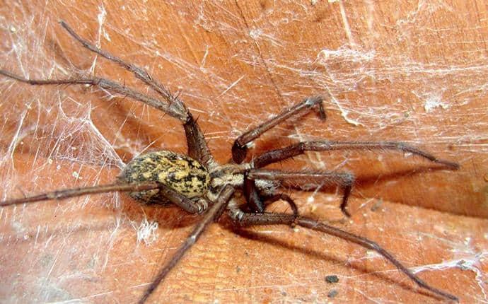 hobo spider in yakima wa
