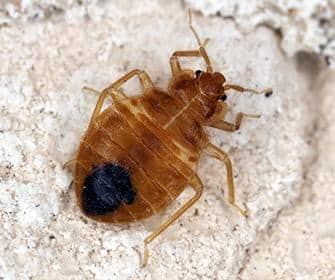 bed bug in a washington home