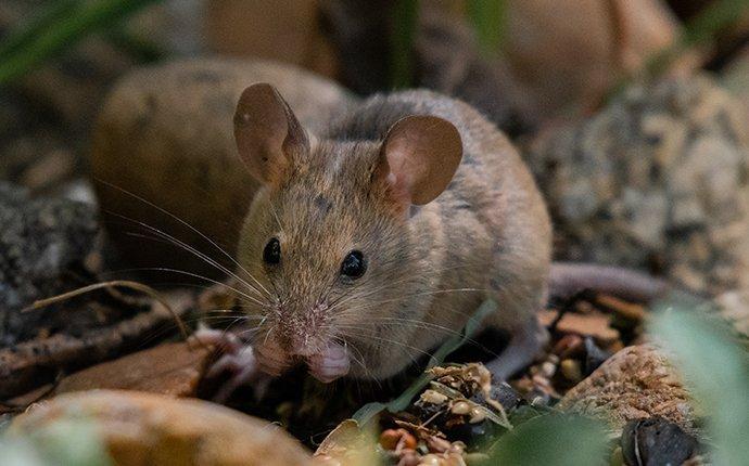 a house mouse outside feeding on birdseed