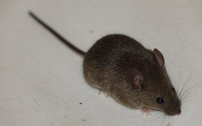 mouse crawling in home
