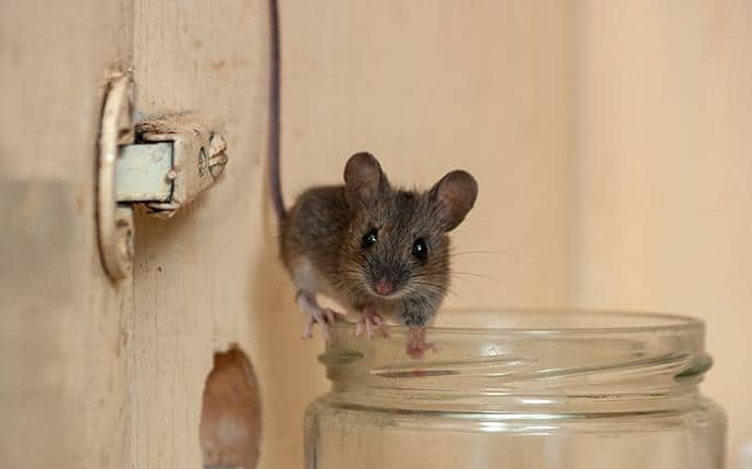 house mouse in kittitas washington