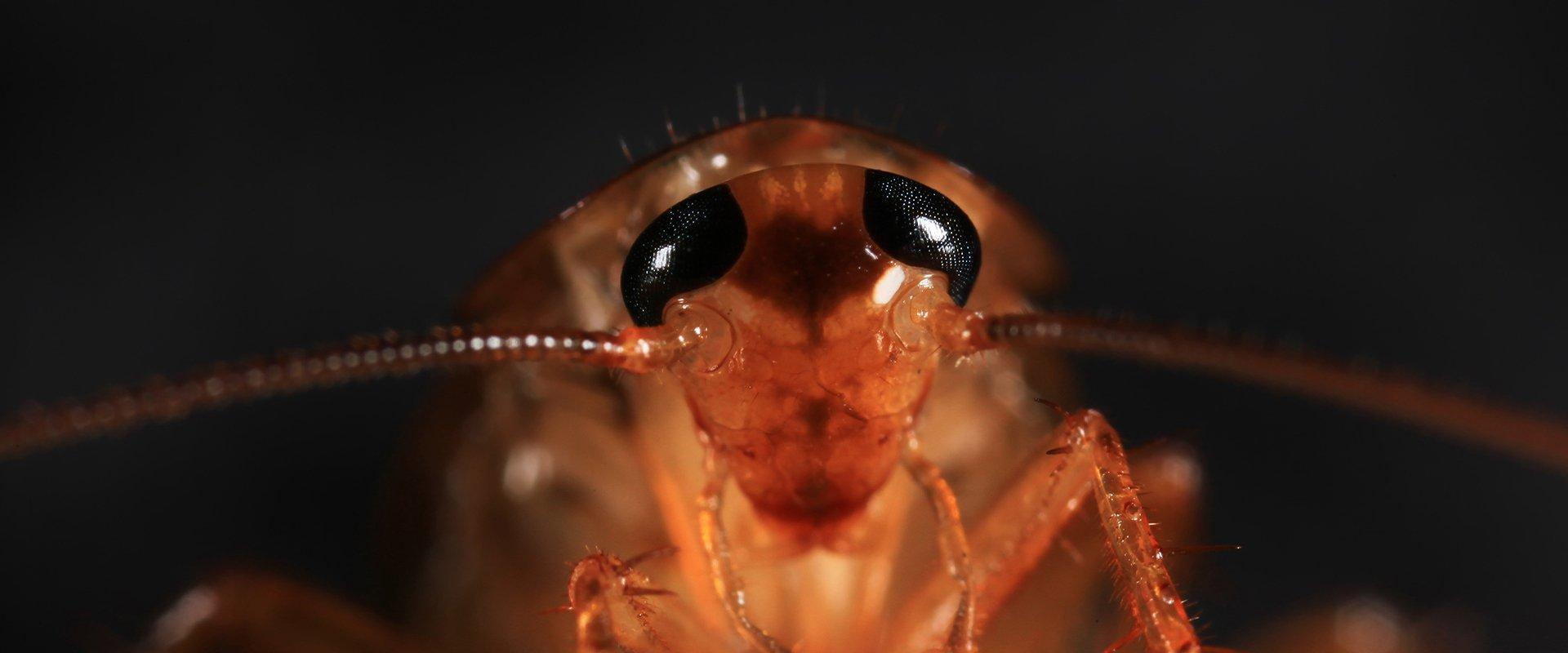 american cockroach up close
