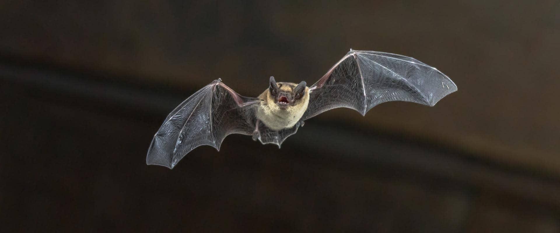 bat flying through air in central washington