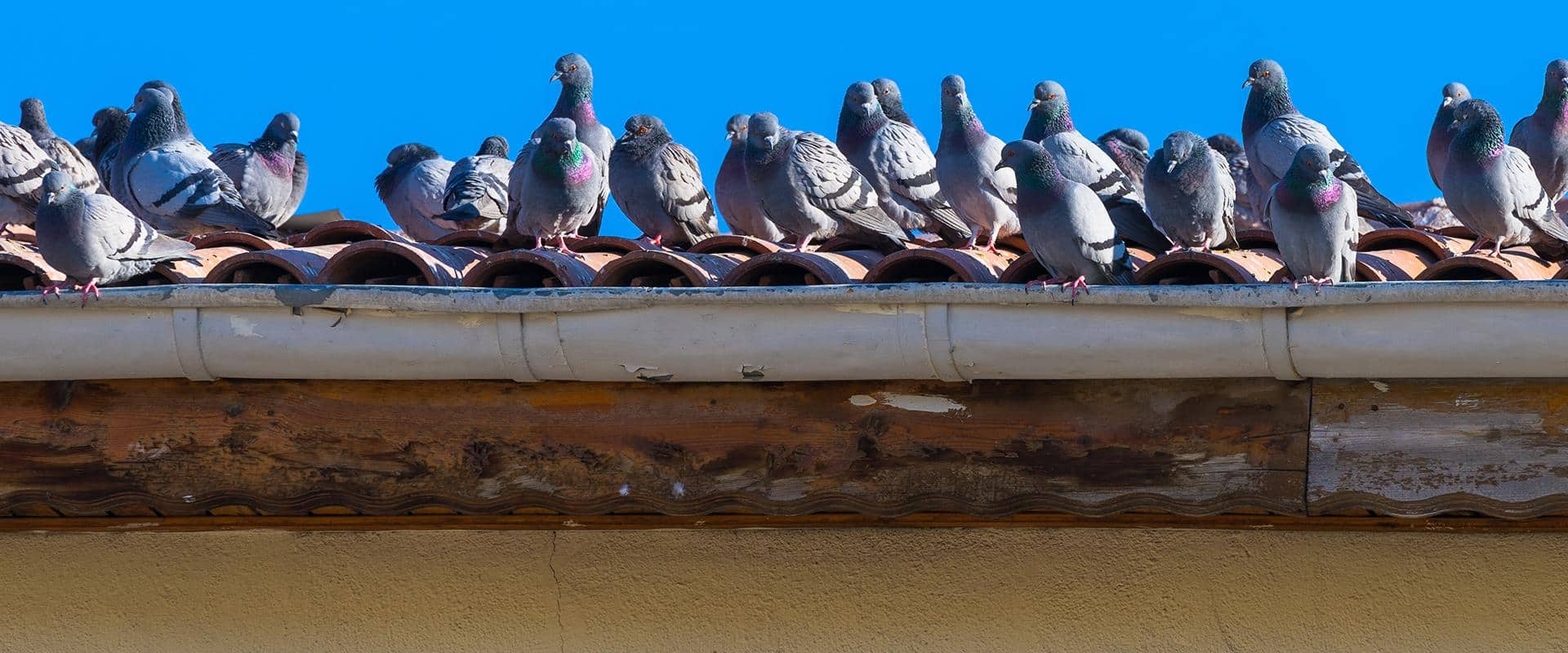pigeons on roof in kittitas county wa
