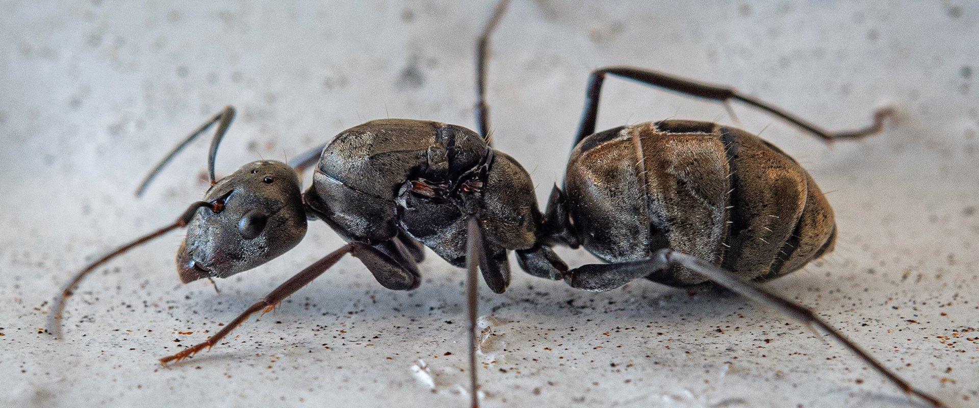 carpenter ant on ground