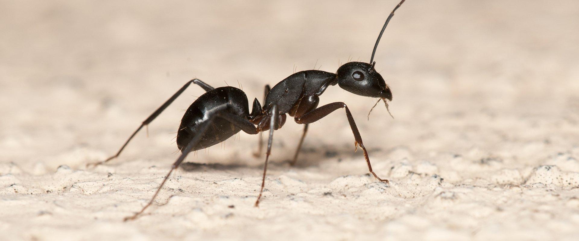 carpenter ant crawling on kitchen surface