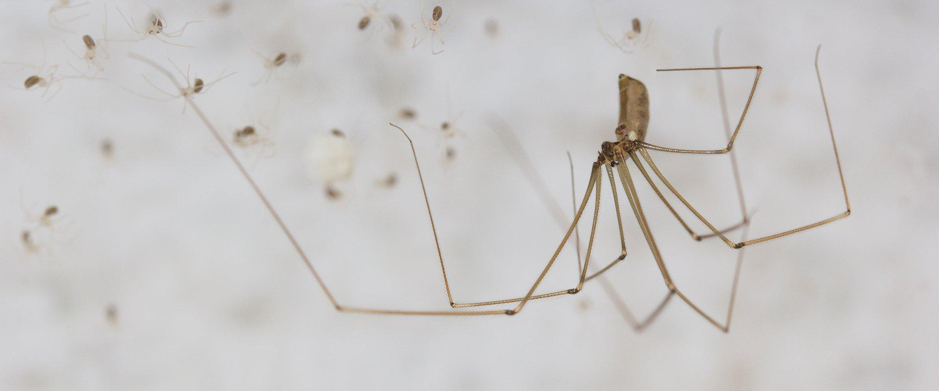 adult cellar spider with babies