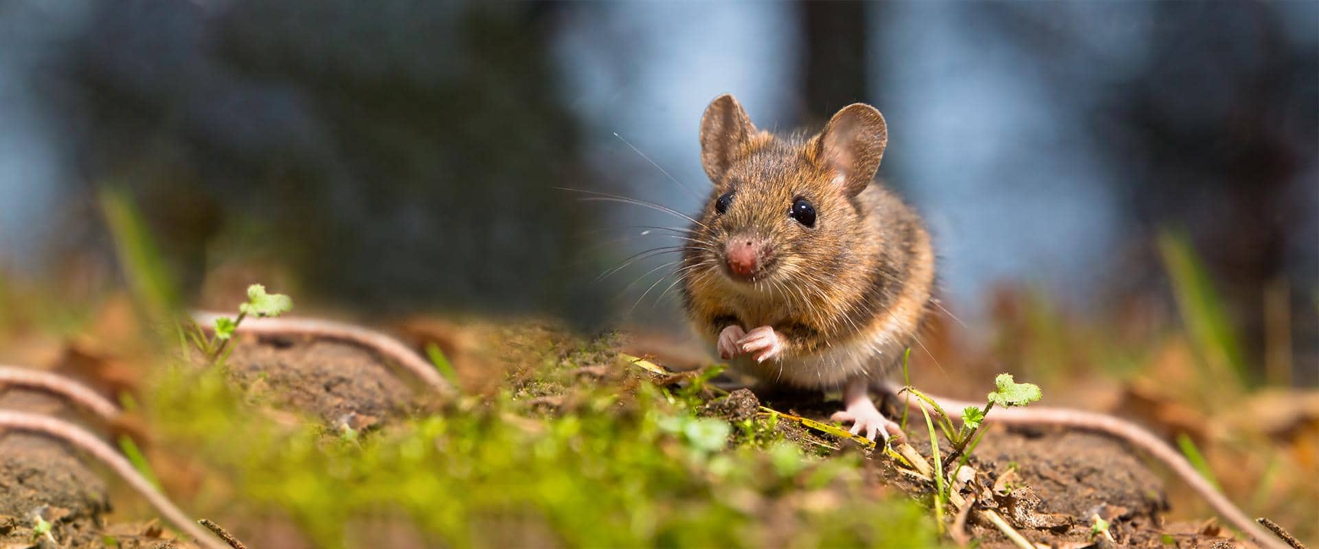 central wa rodent control