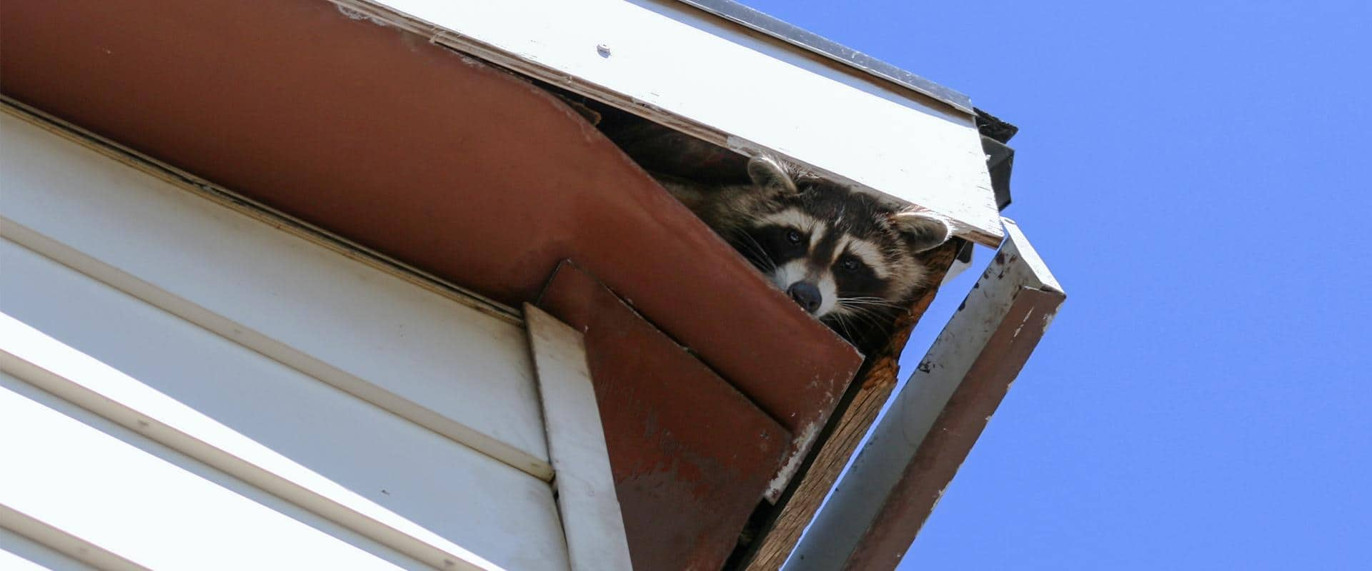 raccoon peaking out of ellensburg wa home