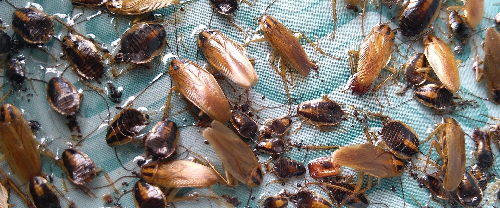 cockroaches in water