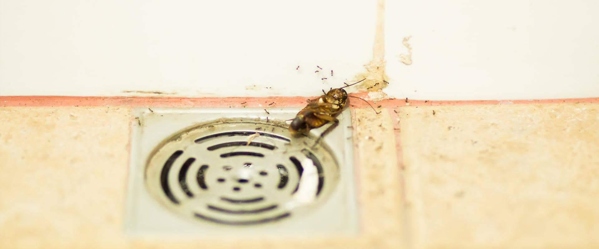 roach in commercial kitchen drain washington