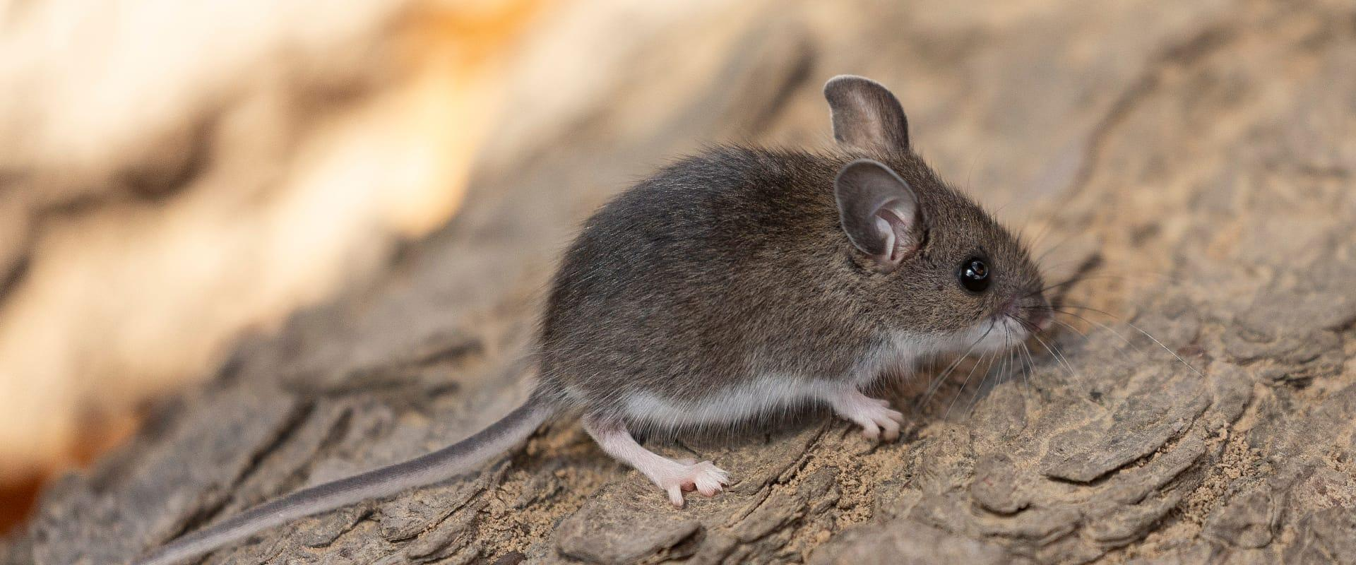 house mouse on rock