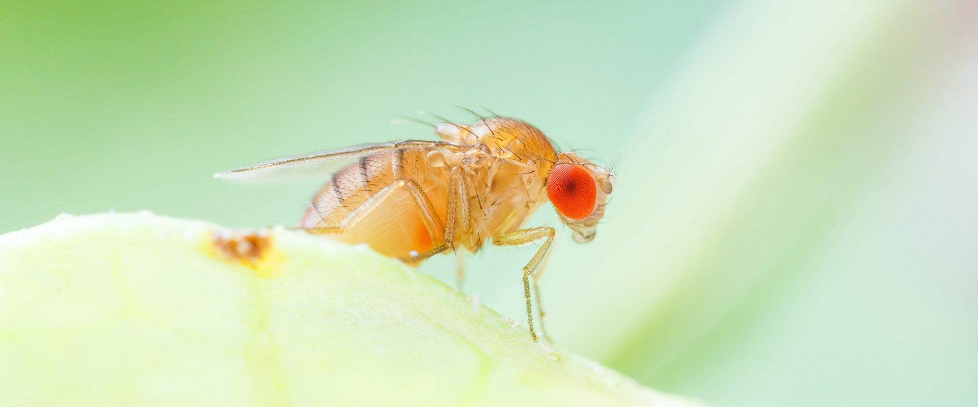 fruit fly on pear